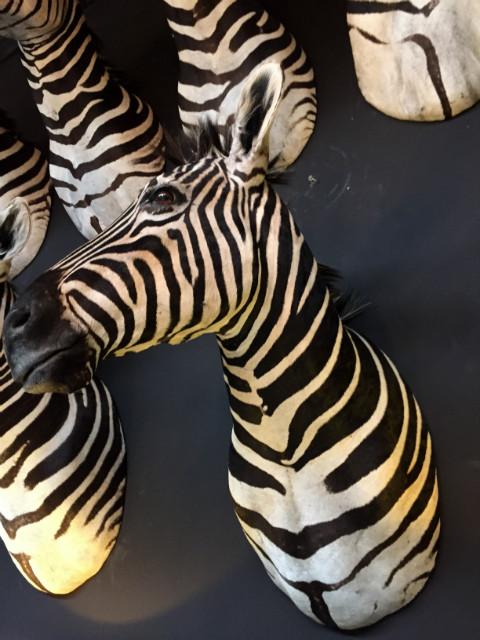 SM 110-B, Very nice zebra head.