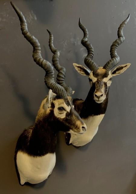 SM 193-A, Couple of taxidermy black buck