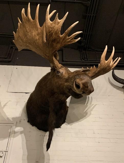 Ausgestopfter Kopf eines sehr großen kanadischen Elches