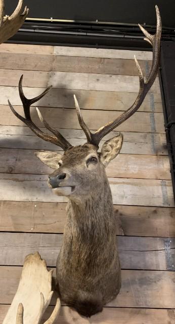 SM 350-M, New stuffed heads of red deer