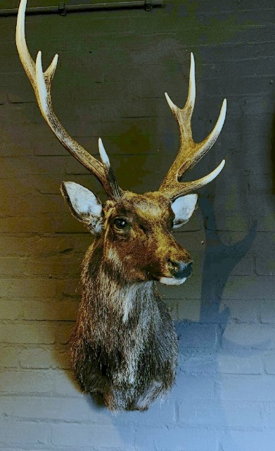SM 410-A, Stuffed head of a sika deer