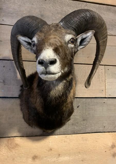 SM-450-C, Taxidermy Mouflon head