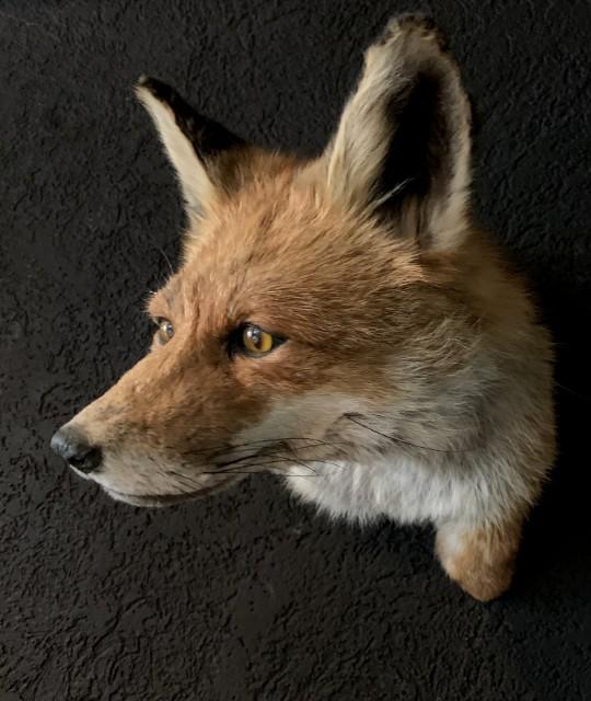 Ausgestopfter Fuchs Kopf