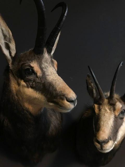 Beautiful couple of mounted chamois
