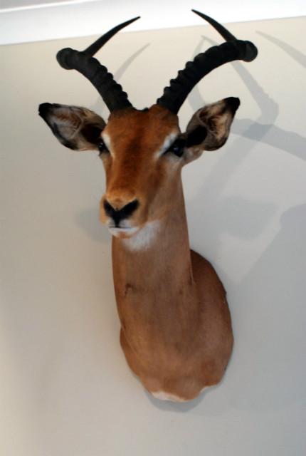 SM 475-B, Opgezette impala koppen.
