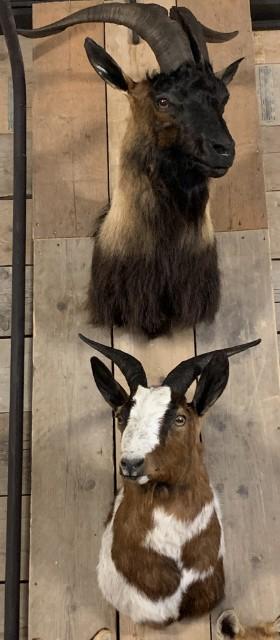 SM 602-A, Ausgestopfter Kopf großen Ziege