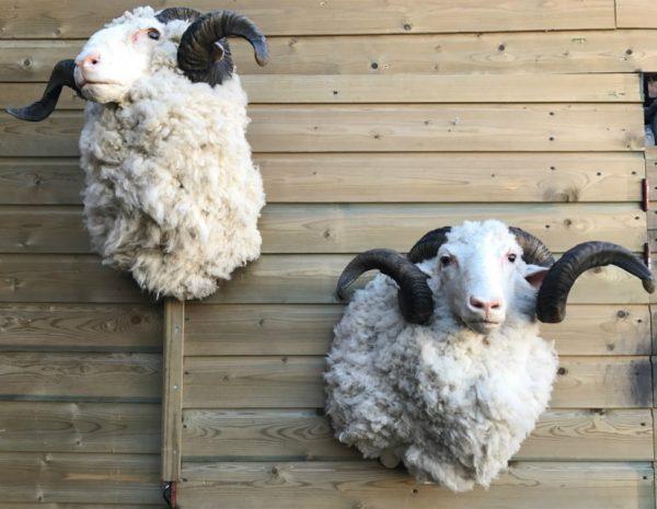 SM 603, Mounted head of merino sheep
