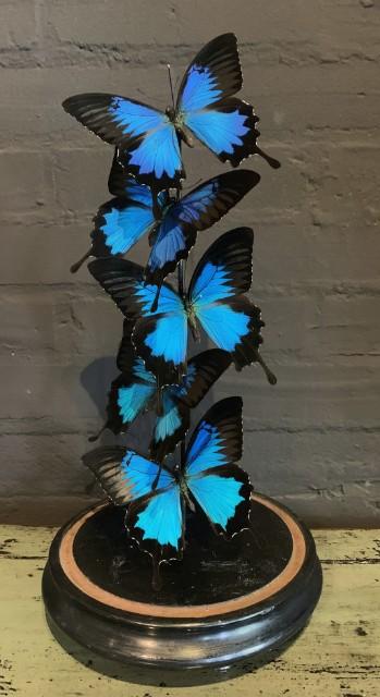 Kleine antieke stolp gevuld met blauwe vlinders