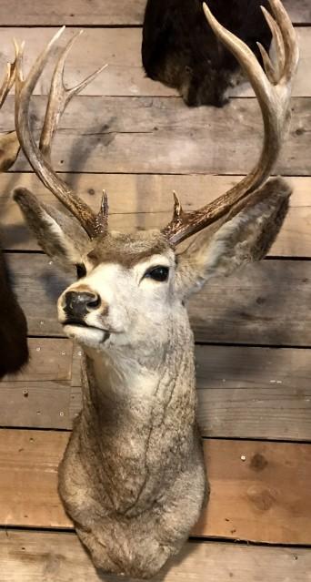 Spezielle und Vintage ausgestopfte Kopf eines amerikanischen Mule deer
