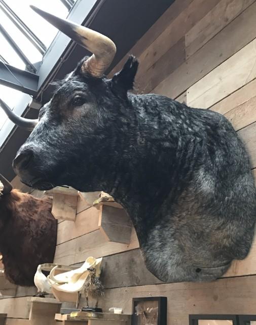 Spezielle ausgestopfte Kopf eines riesigen Stier.