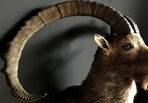 Special stuffed head of a very old Capricorn with huge horns