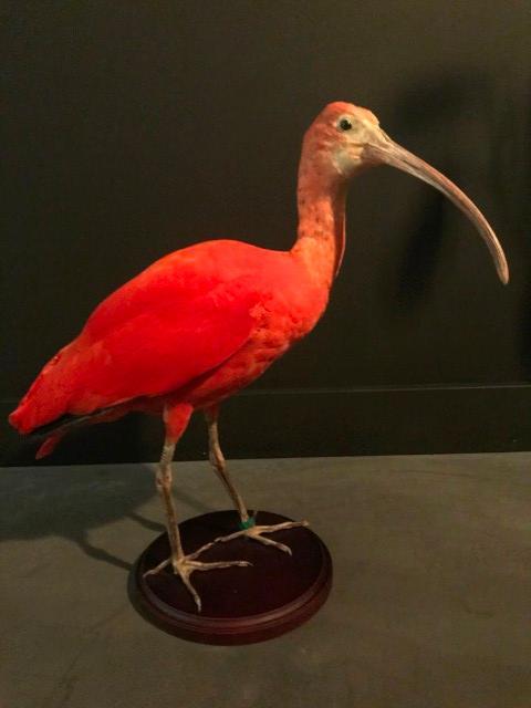 Spezielle ausgestopfter rot Ibis