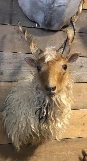 Opgezette kop van een Racka schaap