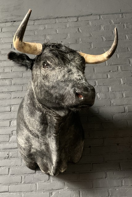 Stuffed head of a dark gray Spanish fighting bull