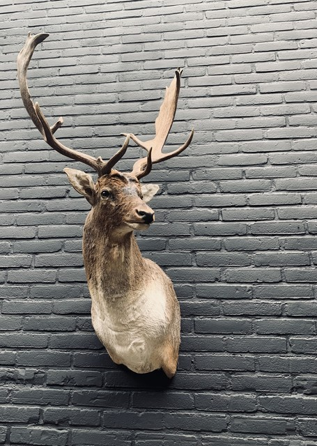 Stuffed head of a fallow deer