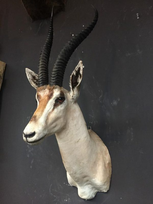 Stuffed head of a grand gazelle