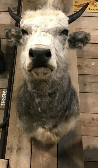 Stuffed head of a Hungarian cow.