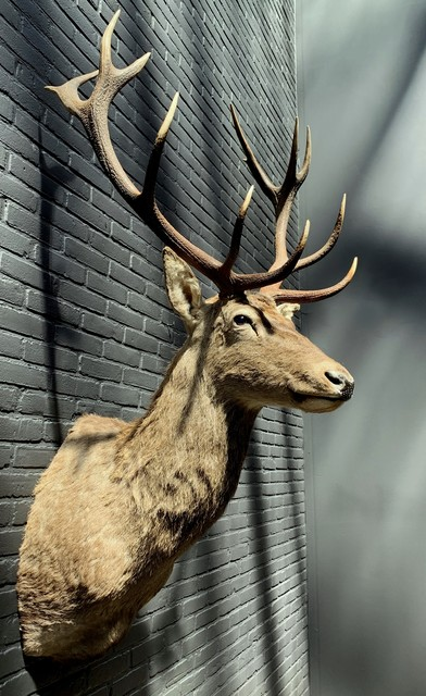 Stuffed head of a red deer