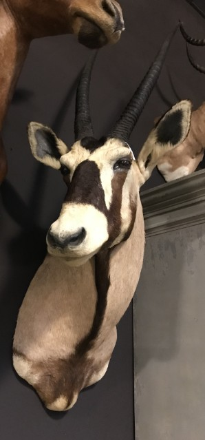 Opgezette kop van een kapitale oryx