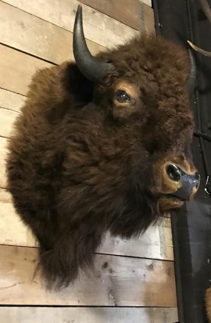 Ausgestopfter Kopf von eine amerikanischen Bisons