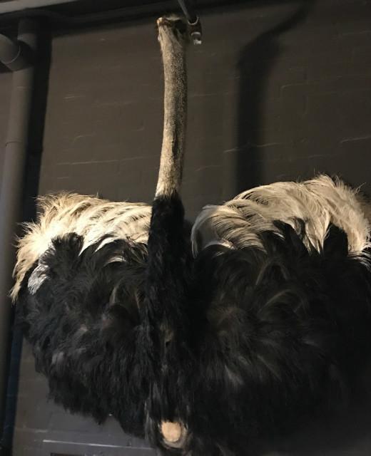 Opgezette kop met borst van een struisvogel.