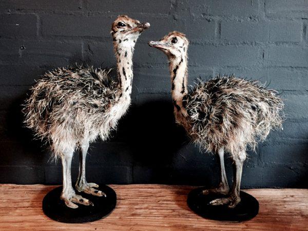 Stuffed ostrich chicks