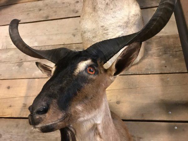 Stuffed taxidermy head of a  billy goat