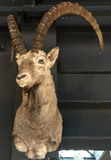 Sturdy stuffed head of an ibex