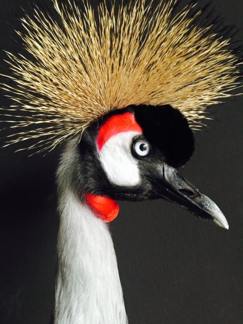 Sierlijke opgezette kroonkraanvogel