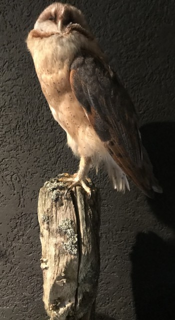 Taxidermy barn owl with cites
