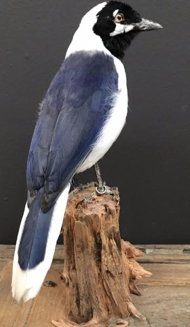 Ausgestopfter Vogel