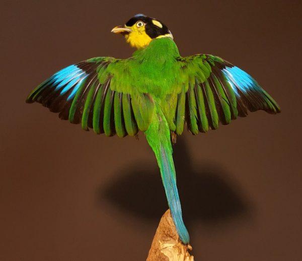 Taxidermy bird (Psarisomus dalhousiae)