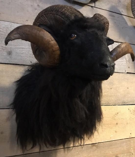 Taxidermy head of a black ram