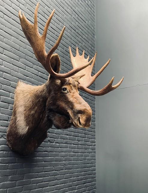 Opgezette kop van een Canadese eland