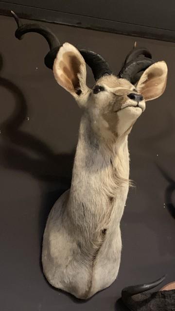 Ausgestopfter Kopf eines großen Kudu
