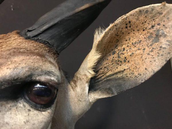 Taxidermy Nyala head