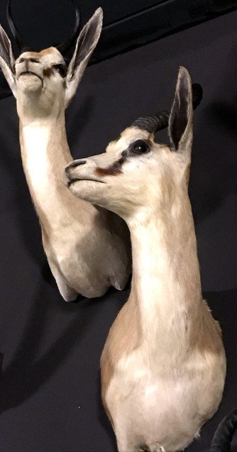 Taxidermy springbok koppen
