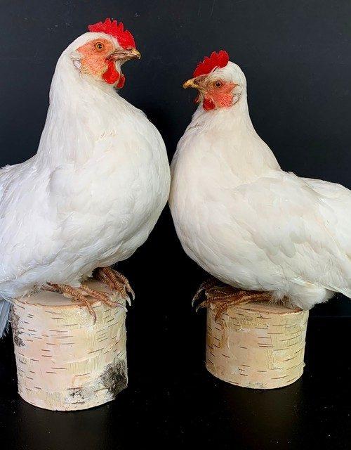 Taxidermy white chicken