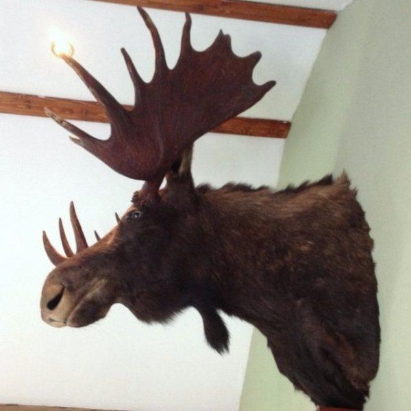Ausgestopfter Kopf eines Elch