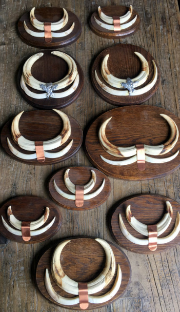 Teeth of warthogs that are mounted on unique solid oak planks.