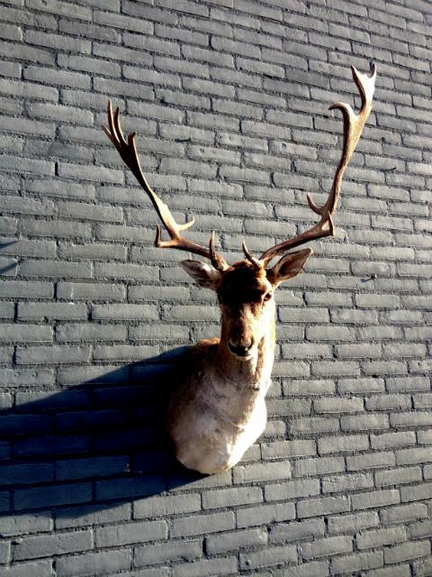 Trophy head of a fallow deer