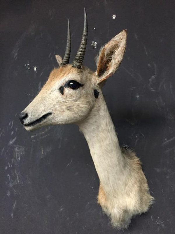 Two hunting trophies from old stuffed duikers