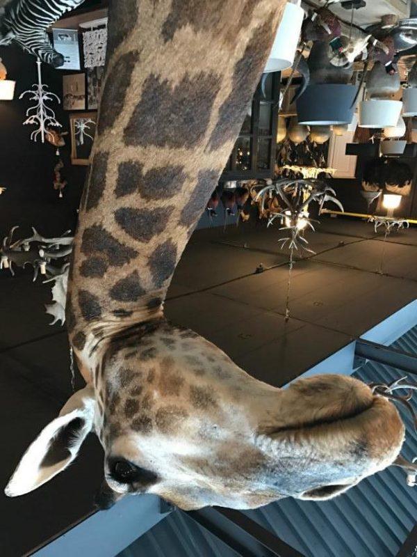 Unieke en kolossale opgezette kop van een giraffe op een pedestal