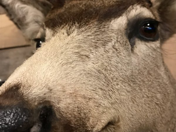 Unique taxidermy head of an American Muledeer