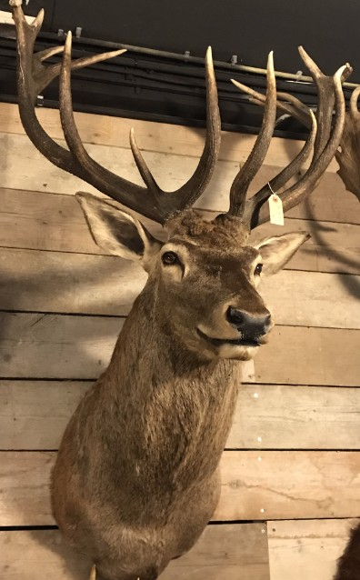 Very big hunting trophy of a giant red stag