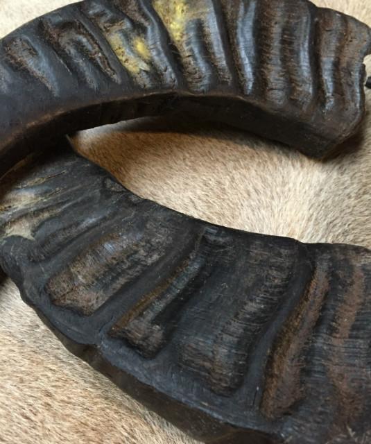 Zeer decoratieve losse hoorns van waterbuffel