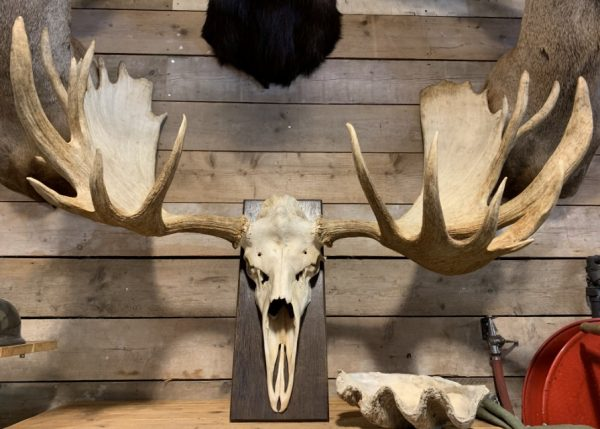Very large antler from a Canadian moose