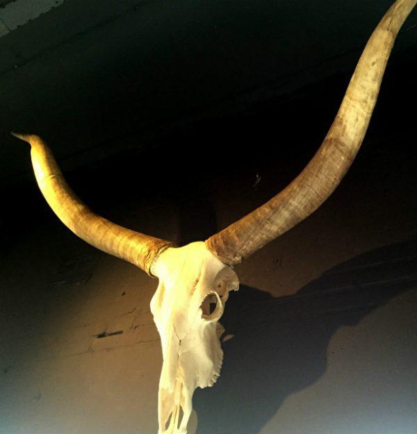 Sehr große dekorative Schädel eines Watusi bulle.