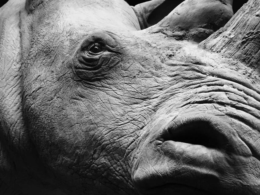 Very lifelike replica of a white Rhino.