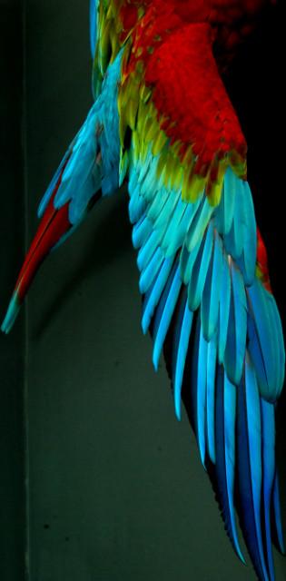 Very lifelike stuffed green wing macaw.